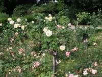 Rosengarten-August-2009_0002